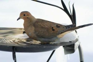 A mourning dove, taking a break.