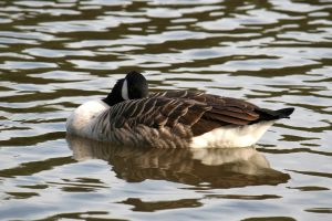 Couldn't think of a way to illustrate this. So here's a Canada goose.